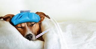 Cómo hacer que un perro enfermo coma