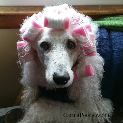 Poodle in pink curlers