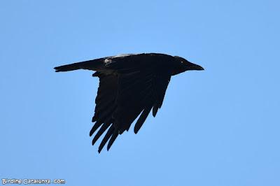 Cornella emmantellada (Corvus cornix)