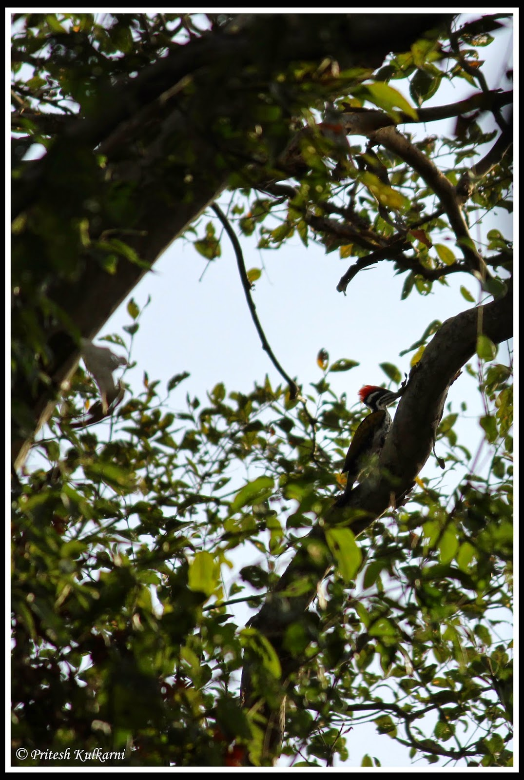 Goldenback Woodpecker