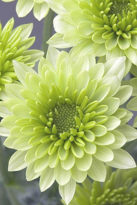 jenis bunga krisan, harga bunga krisan, cara memperbanyak bunga krisan, bunga krisan pink, manfaat bunga krisan, cara merawat bunga krisan, penyebab bunga krisan layu, cara merawat bunga krisan agar tidak layu