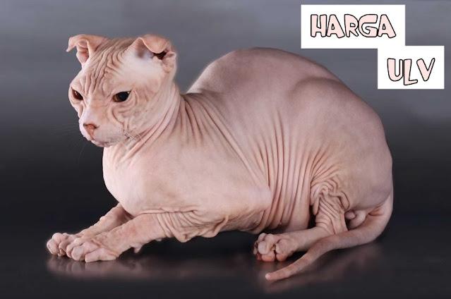 Harga Kucing ULV