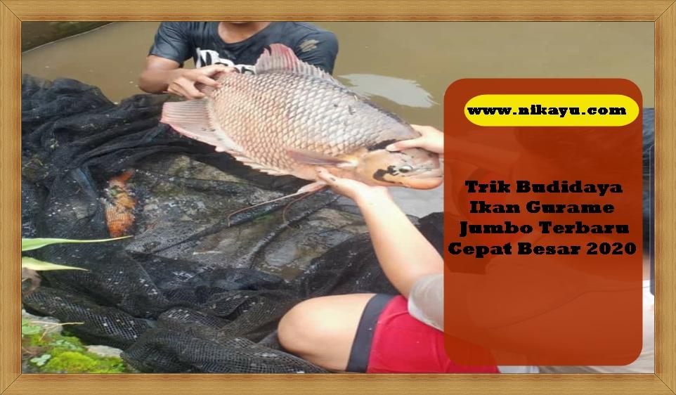Trik Budidaya Ikan Gurame Jumbo Terbaru Cepat Besar 2020