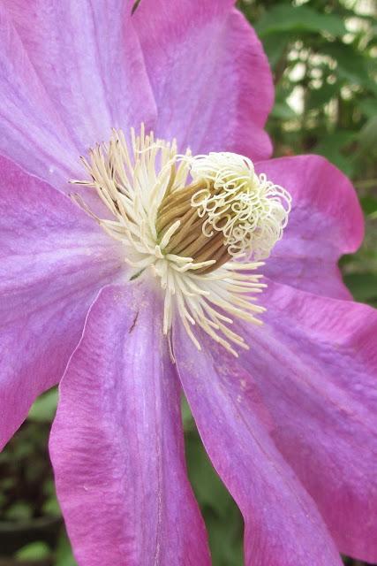 Ranunculaceae Family