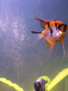 Vicki S Angelfish Koi Vs White Marble