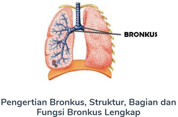 Bronkus : Pengertian Beserta Struktur, Bagian Dan Fungsi Terlengkap