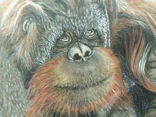Wildlife Artist : pastel painting orangutan