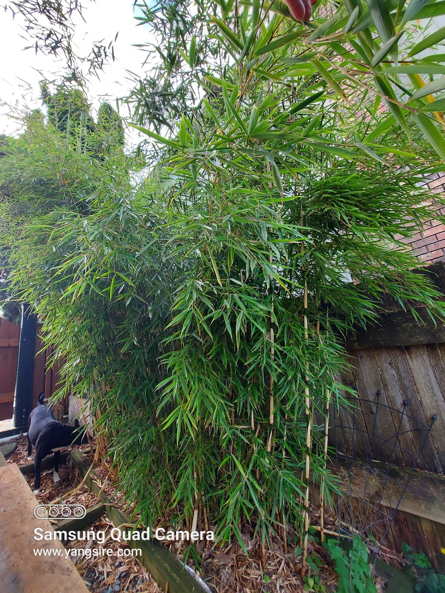 Growing bamboo in your property near neighbors house