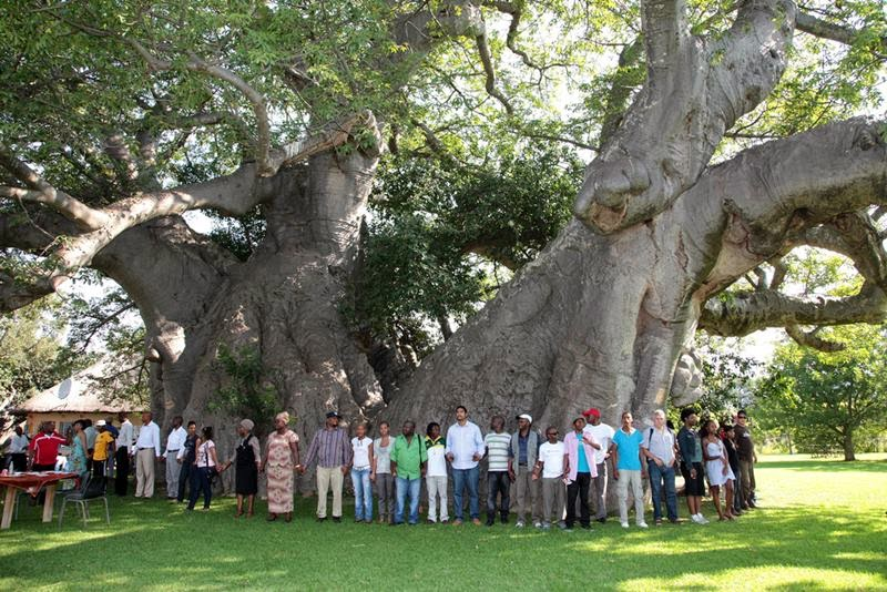 Sunland Baobab Tree, Limpopo Province — It took several people to stand around the tree joining hands - note its relative size next to average human beings, Quite impressive.