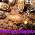 Video Queen Bees Azteca