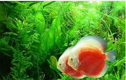 Profil Ikan Hias Diskus cantik