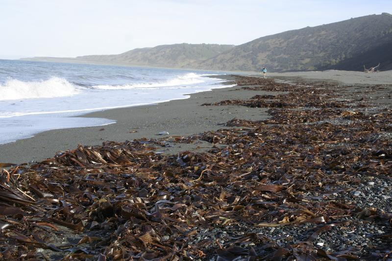 ламинария морская капуста тихий океан мыс камчатский камчатка