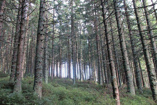 Las porastający Czyrniec.