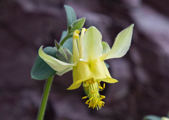Yellow Columbine closeup along the trail to Sperry Glacier