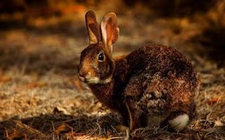 खरगोश की जानकारी हिंदी में ▷ some facts about rabbit in hindi