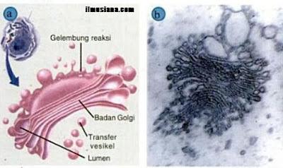 dalam postingan yang Anda baca saat ini adalah untuk menjelaskan bagian Badan Golgi dan Fungsi Badan Golgi