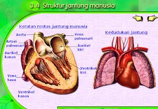 gambar struktur jantung manusia