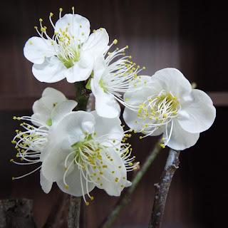 満開の野梅の花