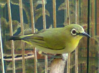 yakni burung pleci yang merasa dirinya nyaman dikala berada di sangkarnya Tips Jitu Agar Pleci Ngeplong Tanpa Voer