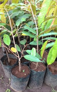 bibit-durian-montong-okulasi.jpg