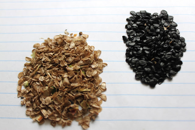 Agave chiapensis seeds