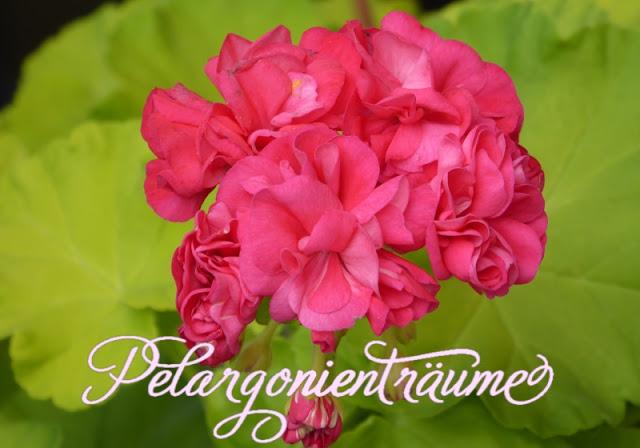 Rosengeranie-Rosenpelargonien-rot-pink