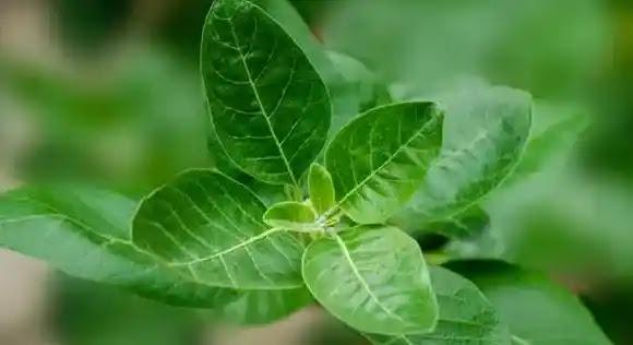 علاج للقلق والتوتر العصبي والخوف بالأعشاب-أشواغاندا-ashwagandha