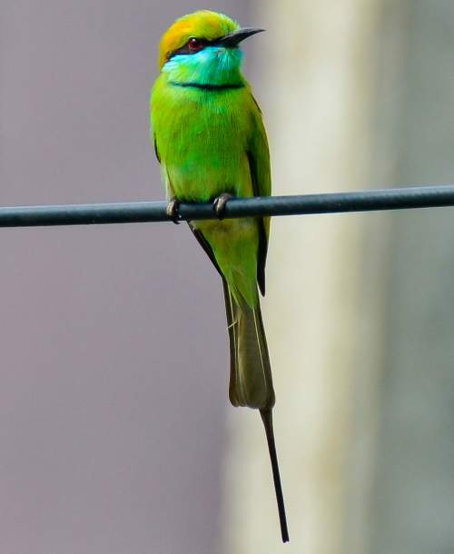 Birds of India - Picture of Asian green bee-eater - Merops orientalis
