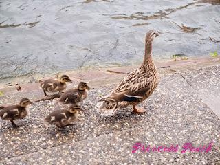 史特拉斯堡小法國區鴨鴨們
