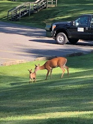 Doe and fawn stand on grassy area. A pickup truck, parking lot, and stairs are in the background.