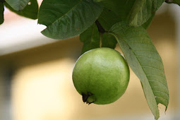 Benefits Of Guava Cope With Dengue Fever