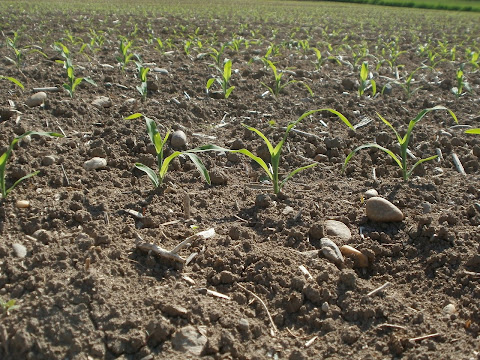 Maize Soil and Climate