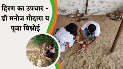 हिरण का उपचार करते डॉ मनोज गोदारा सहयोग में पूजा बिश्नोई