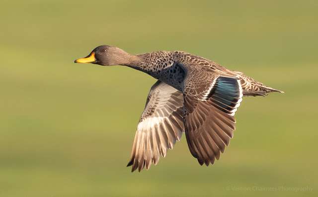 Yellow-Billed Duck in Flight Table Bay Nature Reserve Woodbridge Island Vernon Chalmers Photography