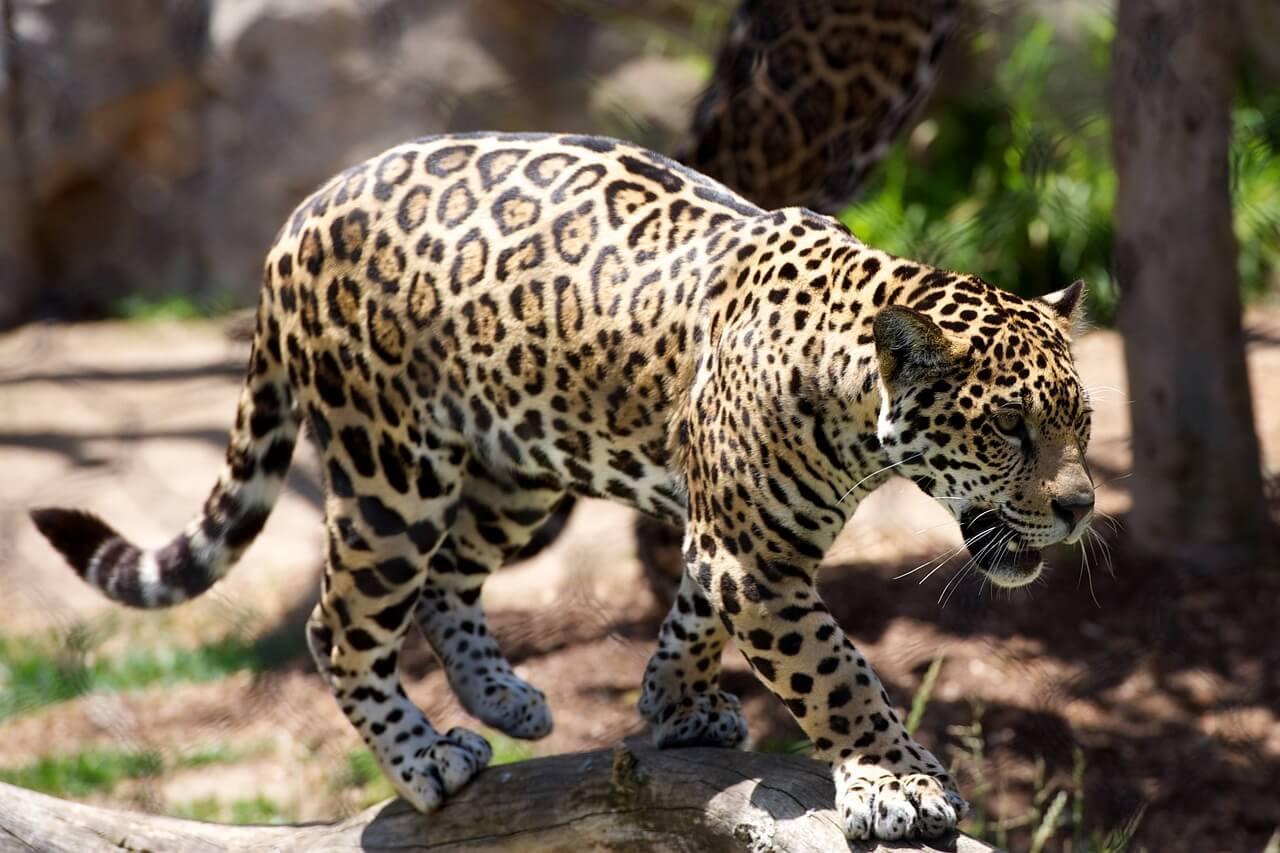 बिल्ली प्रजाति के यह तिन जानवरों के बिच में क्या अंतर है? - चीते, जगुआर और तेंदुए में क्या फर्क है - Cheetah vs jaguar vs Leopard
