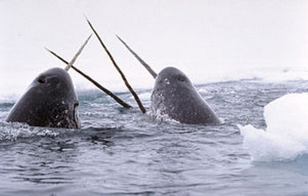Narwhal socializing