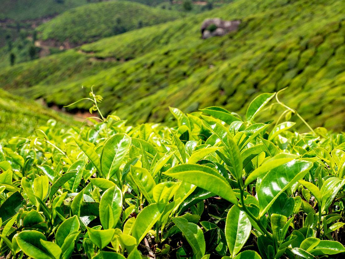 Чайные плантации в Индии. Штат Керала