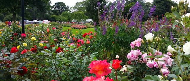 ruusu, ruusupensas, ruusupuisto, lupiinit