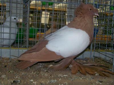 trumpeter pigeons - muffed trumpeter pigeons - yellow pigeons - Tambour de Dresde