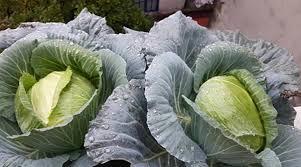Hướng dẫn cách trồng cải bắp sạch tại nhà Hướng dẫn cách trồng cải bắp sạch tại nhà