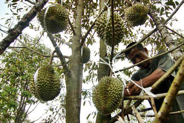 Mengenal Penghasil Buah Durian Di Desa Suluk, Madiun