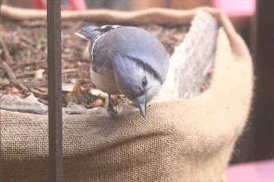 "This is a picture of a blue jay perching on the rim of a flora container in my garden which is wrapped in burlap. He appears to be looking on to the garden floor.  ""Blue jays are large for songbirds, typically measuring between 9 and 12 inches long, and weighing between 2.5 and 3.5 ounces. Distinguishing characteristics of the blue jay include the pronounced blue crest on their heads, which the blue jay may lower and raise depending on mood, and which will bristle outward when the bird is being aggressive or becomes frightened. Blue jays sport colorful blue plumage on their crest, wings, back, and tail. Their face is typically white, and they have an off-white underbelly. They have a black-collared neck, and the black extends down the sides of their heads - their bill, legs, and eyes are also all black. Their wings and tail have black, sky-blue, and white bars. Male and female blue jays are nearly identical."" (Info from https://forum.americanexpedition.us/blue-jay-facts). They are featured in my three volume book series, ""Words In Our Beak. Info re these birds is in another post on this blog @ https://www.thelastleafgardener.com/2018/10/one-sheet-book-series-info.html"