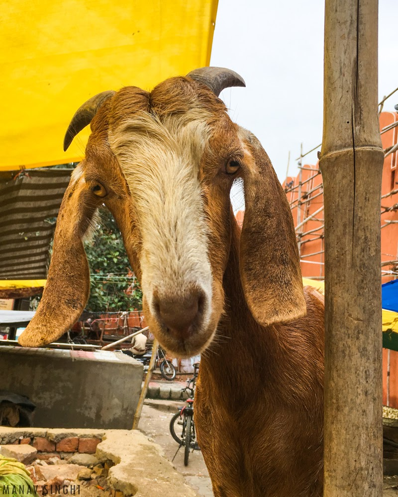 Mr. Goat.