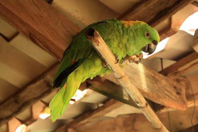 Guacamayo en Monteverde