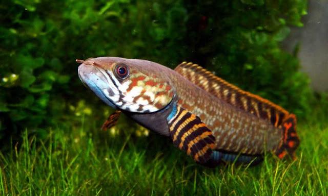 11 Jenis Ikan Gabus Hias atau Channa Beserta Harganya