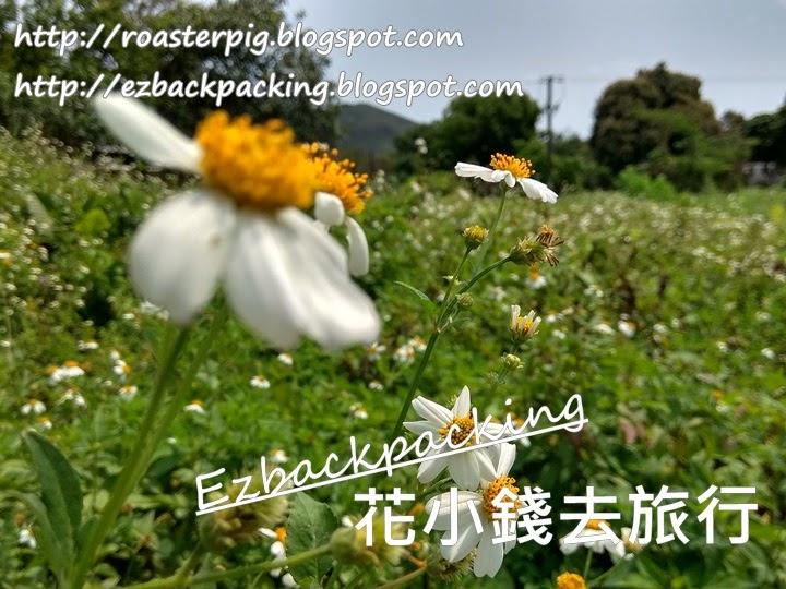 坪洋小白菊
