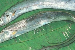 Habitat Dan Penyebaran Ikan Layur