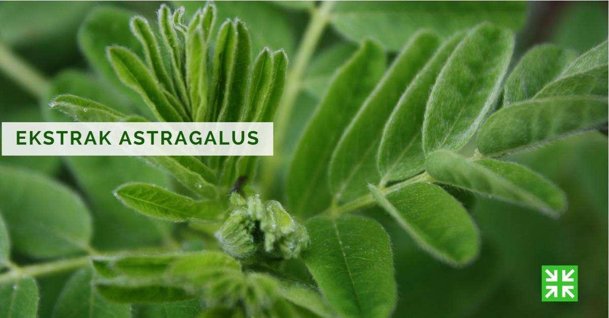 Bisnis Fkc Syariah - Ekstrak Astragalus