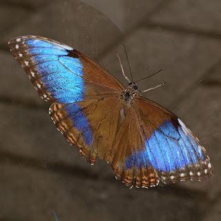 Half Morpho Butterfly