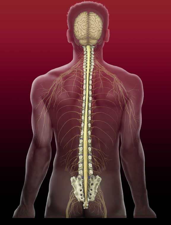 Spinal cord: Spinal Cord